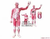 人体全身肌肉附内脏模型