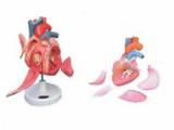 心脏传导系模型