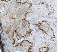 Merck millipore Anti-Osteocalcin Antibody, Clone 7D1.13  MABD123