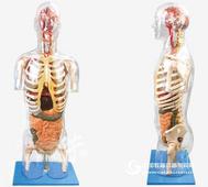 A10004透明半身軀干附內臟模型