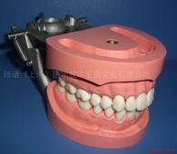 标准牙模型 标准牙颌演示模型2