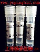 抗核糖体S6蛋白激酶抗体
