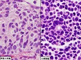 二氢叶酸缺陷型中国仓鼠卵巢细胞,CHOdhfr细胞
