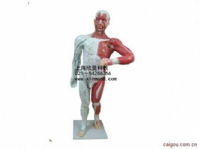 门静脉系模型