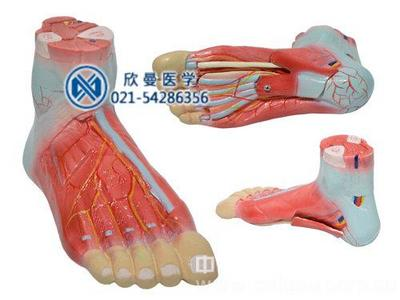 足解剖模型,医用人体模型