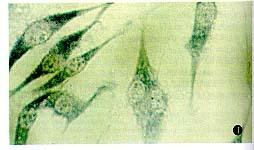 美国ATCC 小鼠白血病细胞株 P388