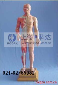 解剖针灸模型