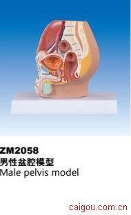 男性盆腔模型