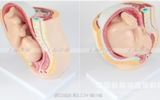 妊娠发育过程模型 计划生育模型 胎儿模型