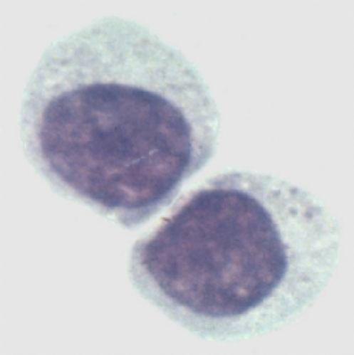 非洲绿猴肾细胞系,VERO/IgRCD4-