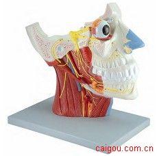 头颈浅表神经血管肌肉